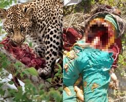 【グロ画像】豹(ヒョウ)が人間の味を覚えたら・・・村人が8に食べられた・・・