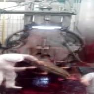 【肉解体】牛虐待しながら解体する現場が胸糞過ぎた・・・ 動物苦手な人は見ちゃだめ ※超閲覧注意