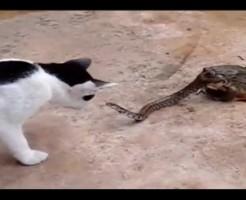 【衝撃映像】ヒキガエルに喰われかけてるヘビ触ろうとしてるネコって見たことある???