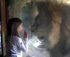 【グロ動画】動物園で少女がライオンに襲われてもう手遅れっぽいんだけど・・・