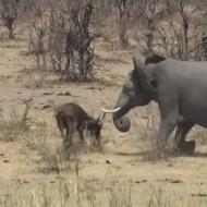 【衝撃】ゾウさんブチ切れさせたらどうなるか試してみたらずっとゾウさんのターンになった・・・ ※動画