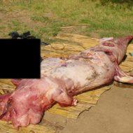 【グロ画像】人喰いワニに喰われた人間の死体を胃の中から取り出してみた ※閲覧注意