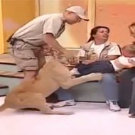 【衝撃映像】放送事故もええとこやろw生放送でライオンに襲われ泣き叫ぶ女の子・・・アナウンサー凍りついとる・・・