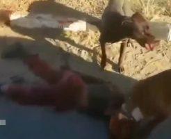 【グロ動画】ゾンビ犬かよ・・・ピットブルに子供が喰い殺されてるナウの現場 トラウマになるわこんなん・・・