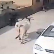 【おもしろ映像】牛先輩「お!あの人間調子乗っとるなwちょっといじめたろw」の映像!この後すぐ!!