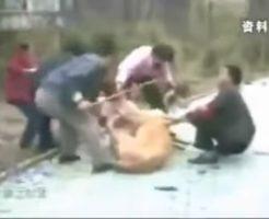 【衝撃映像】少女がライオンに襲われている場面に遭遇!なお安否はわからない模様