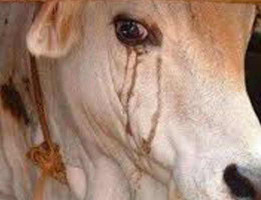 【グロ音】屠殺される無抵抗な牛、最後の鳴き声と血の滴る音がトラウマ級なんだが…