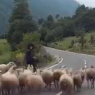 【衝撃映像】「飼い犬に手を噛まれる」の類義語の「飼い羊の特攻」がこちらw