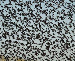 【面白映像】ニワトリ千羽がこっち向かって飛んできたらどうする?w