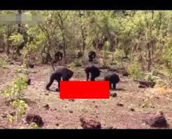 【共食い】裏切り者は殺すウホ 群れから離脱したチンパンジーさん、仲間に喰い殺される ※動画