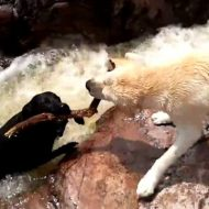 【おもしろ動画】CG無しの一発撮り!ファイト一発!でお馴染リポビタンのCMを今回は犬二匹にやってもらったら案外様になってた件