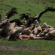 【鳥葬】人間の死体を一口大の大きさにチョキチョキして鳥さん達に食べさせる国があるらしい・・・ ※グロ画像