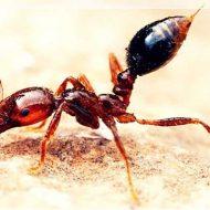 【ヒアリ】毎年100人死亡させている殺人アリをチンコに振りかけて悶絶するバカな挑戦者さんがこちらw ※おもしろ動画