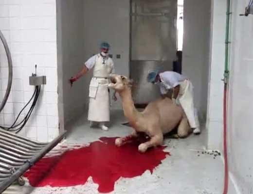 【閲覧注意】イスラム教都圏で行われたラクダの血抜きが想像以上にヤバ過ぎた件 首切って血抜くとかやること一緒なんですねw ※グロ動画