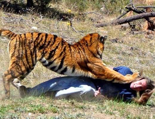 【人食い虎】腹ペコトラさんのいる動物園にバカなおじさん侵入した結果 むしゃむしゃ食べられてるやんけ ※グロ動画