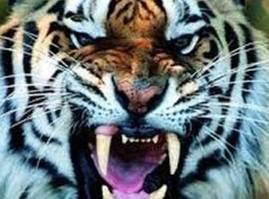 【衝撃】見物人が見ている前で・・・ 動物園のトラが飼育員を噛み殺してたんだが・・・