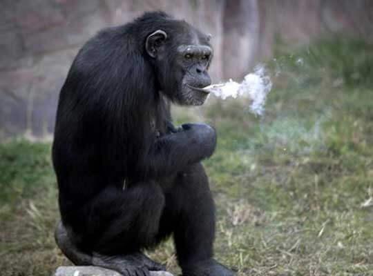 【衝撃】悲報 チンパンジーさん 暇を持て余し過ぎて鳥をなぶり殺すバイオレンスな遊びを思いつく