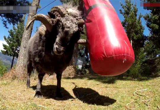 【おもしろ】羊が怒りに任せてサンドバッグと格闘wwwDQNみたいなキレ方www