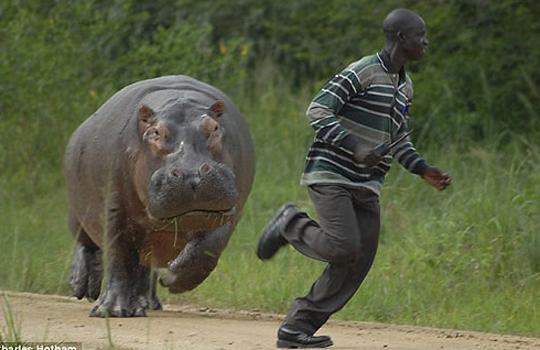 【衝撃映像】本気のカバが世界で一番怖い・・・動物急襲映像