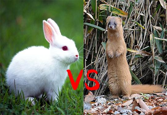 【弱肉強食】イタチVSウサギ 可愛い動物が殺し合いしてんだけど・・・※閲覧注意