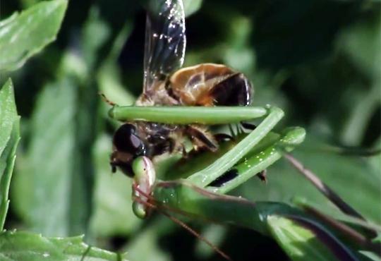 【グロ注意】カマキリとハチがキスwと思ったら踊り食い・・・ 動画有り
