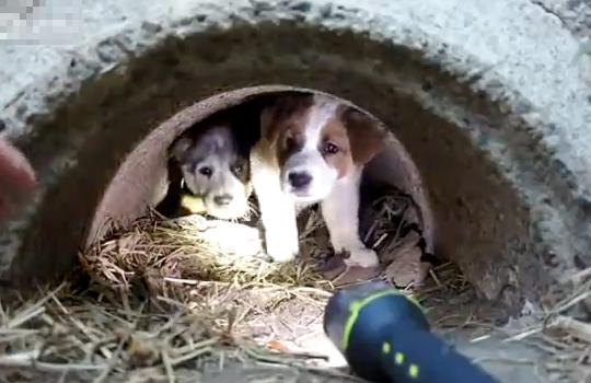 【救出:感動】感動!!!母犬が死んでしまって排水溝の中に住む3匹の子犬を救出