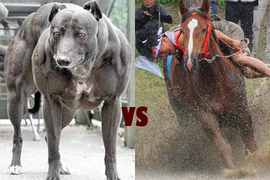 """【驚愕】""""世界で最も人を殺している犬"""" が馬と闘ったらこうなる"""