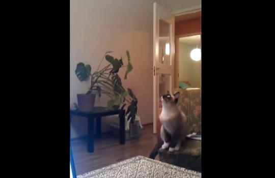 【猫動画】行くぞ!飛ぶぞ!飛・・・・・・べませんでしたぁー!!!