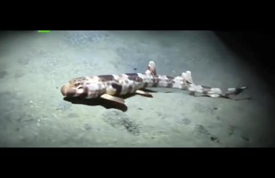 【UMA】人魚がぁ・・・くーるぅー!? 歩行するサメが発見される!!