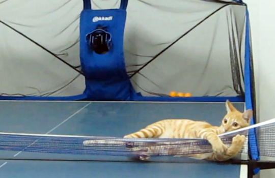 【猫動画】萌える卓球猫!鉄壁よって無敵!百発百中で鋭くボールを打ち返す!!