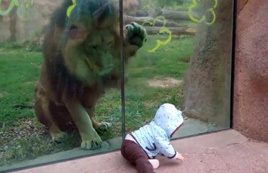 【衝撃映像】ライオン「これマジ食いたてーんだけど」赤ちゃん逃げてぇ!!!
