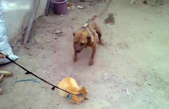 【閲覧注意】犬に生きた猫を食べさせるクズ飼い主・・・