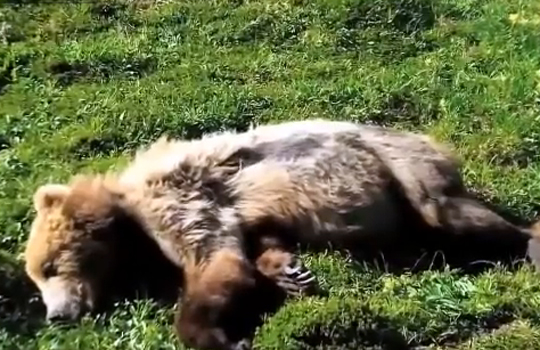 【衝撃映像:動物】野性のグリズリーが心臓発作で死ぬ瞬間…!!