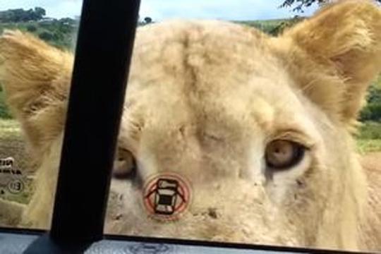 【衝撃映像】サファリパークでライオンが車に近づきドアを口で開ける・・・