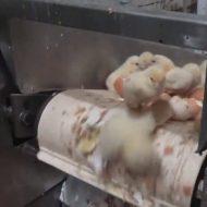 【グロ動画】ひよこミキサー 生まれた瞬間にシュレッダーにかけられミンチになっていく瞬間