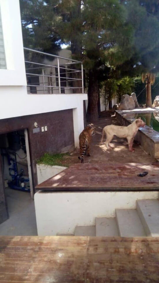 トラとライオンが放し飼いにされている豪邸に忍び込んだ泥棒の末路グロ画像