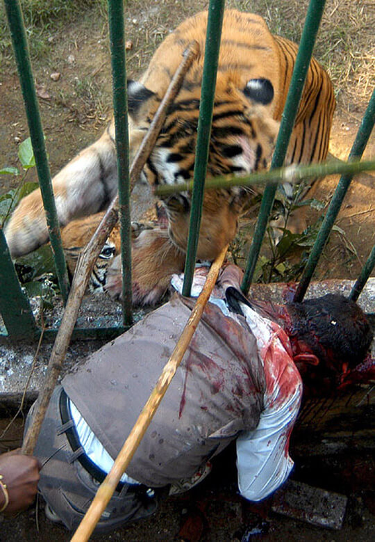 虎に襲われている男性のグロ画像