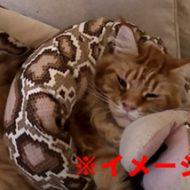 蛇の檻に生きた猫を投入→絞め殺される、ぬこの断末魔がキッツイ・・・