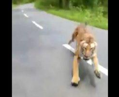 インドでバズった衝撃映像がコレ!ドライブ中に野生のトラから追いかけられる