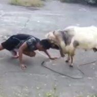 よく分かんないけどヤギと戦ってる男wなんか演舞でもしてるのかな?w