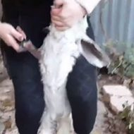 【閲覧注意】女の子がヤギの首をナイフで切り裂き苦しんでいる姿を楽しんでる…