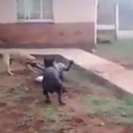 盗みを働いた男性が二匹の犬に襲われ撃退される…