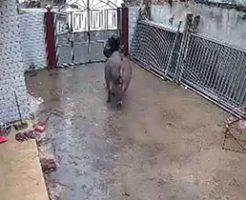 この牛さんは激おこぷんぷん丸w闘牛士の如く老人を吹っ飛ばすw