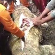 巨大なワニの身体から女性の手足が取り出される衝撃映像…