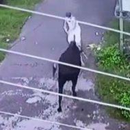 牛に喧嘩を撃った男の末路がしょーもないw