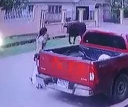 歩いていた母娘が突っ込んできた牛に吹っ飛ばされるアクシデント映像