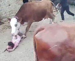 飼育している牛が少女に突っ込む衝撃映像