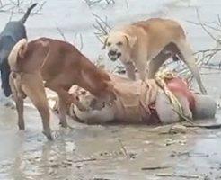 水辺に打ち上げられた死体を食い散らかす野良犬たち